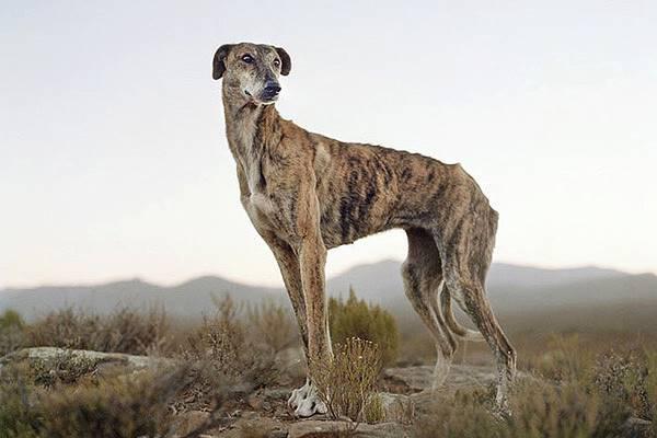 cane africanis e paesaggio