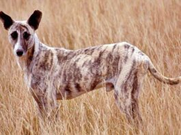 un cane africanis