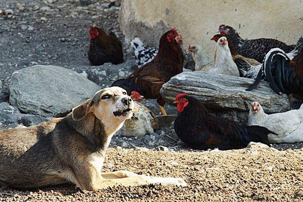 cane fa la guardia alle galline