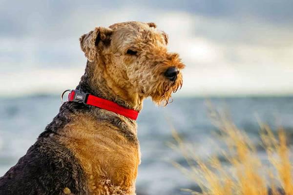 airedale terrier che osserva il paesaggio