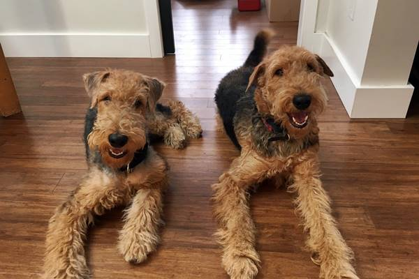 due airedale terrier in casa