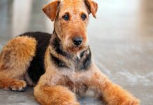 un esemplare di airedale terrier