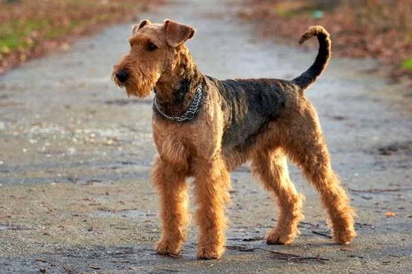 airedale terrier in strada