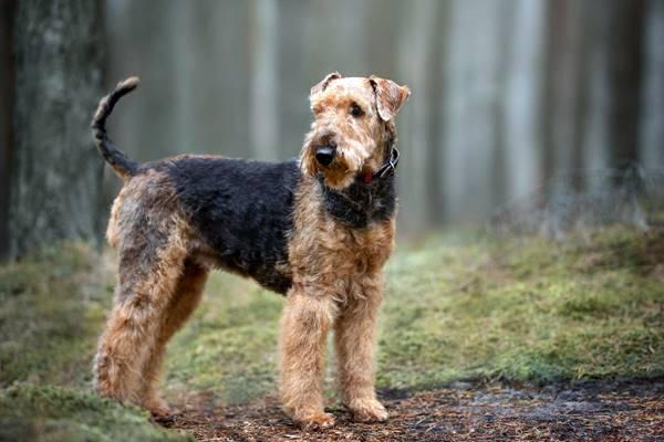 cane con il pelo riccio e duro
