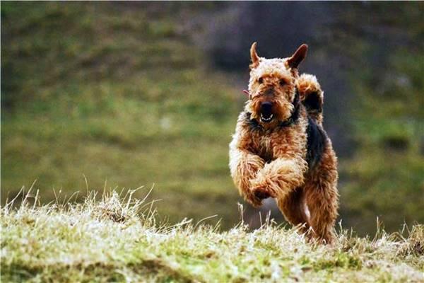 airedale terrier che corre sul prato
