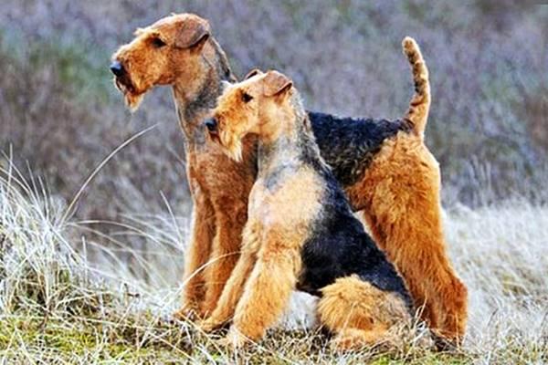 mamma e cucciolo di airedale terrier