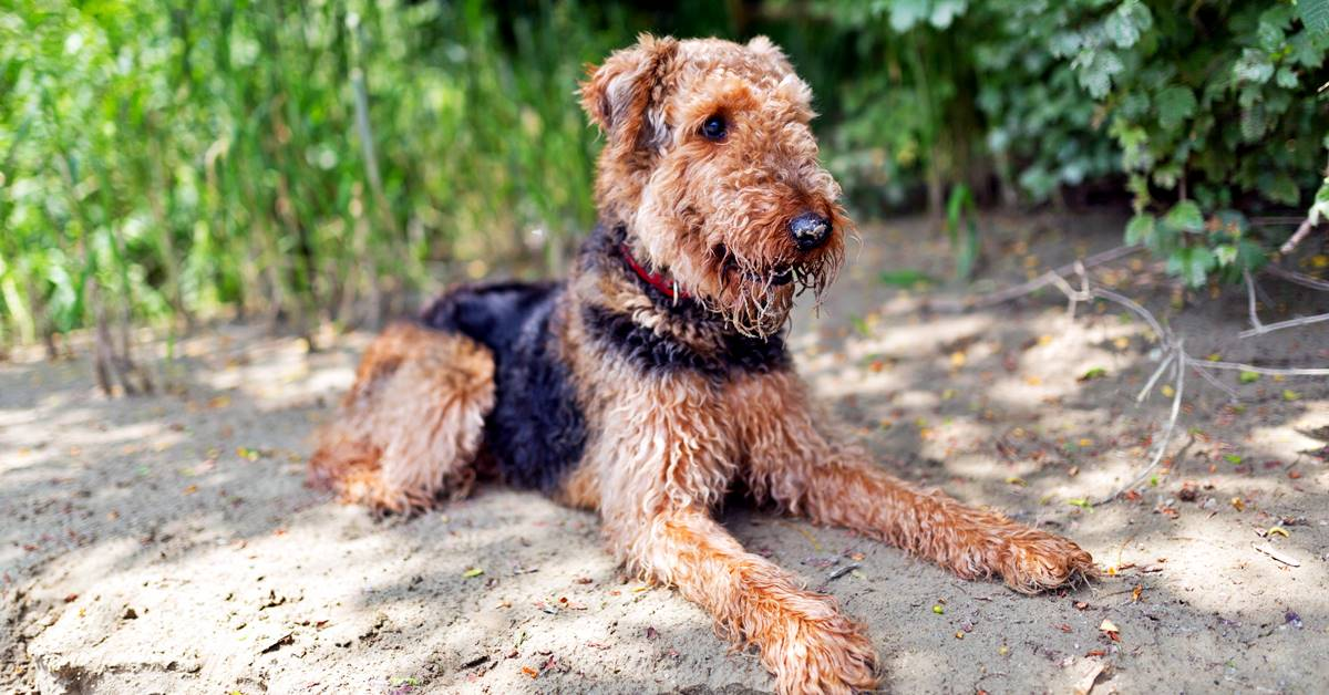 airedale terrier disteso all'ombra