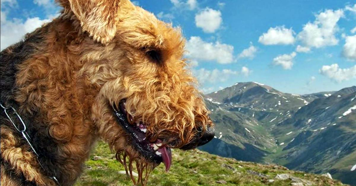 muso dell'airdale terrier