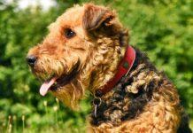profilo dell'airedale terrier