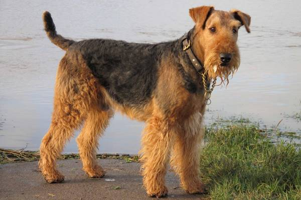 airedale terrier sa nuotare