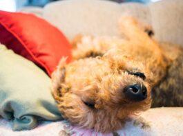 cane che dorme a pancia in su sul divano