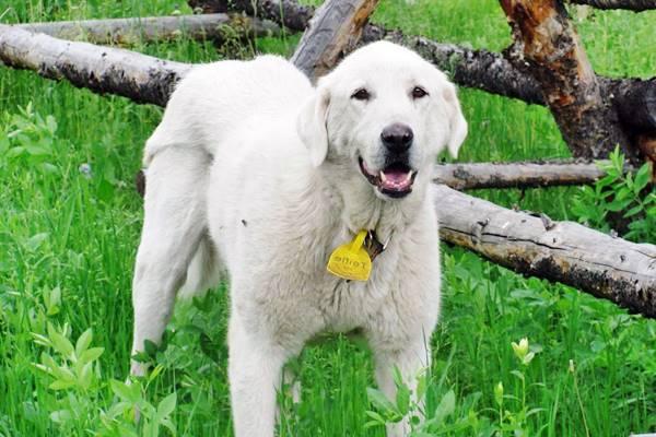 Akbash cane turco e fiero: provenienza e origini