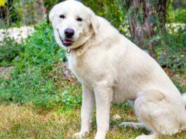 cane bianco da pastore