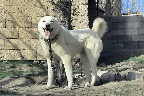 Akbash, carattere e temperamento del cane turco