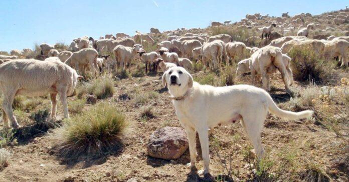 cane da pastore