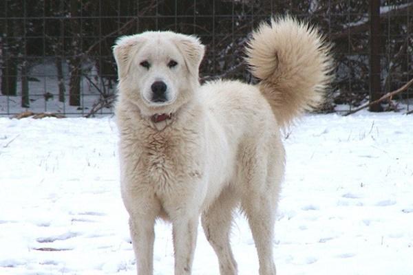 cane bianco che si mimetizza sulla neve