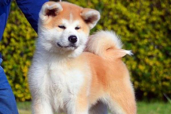 akita cane dal carattere particolare