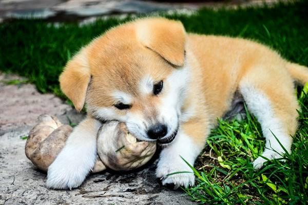 cucciolo di akita sull'erba