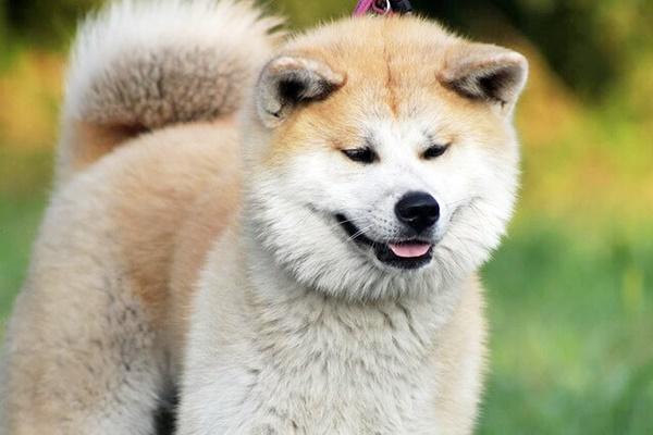cane con il pelo lungo di taglia grande