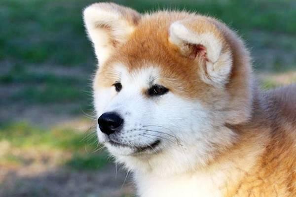 Akita, foto bellissime di questo cane fedele e antico