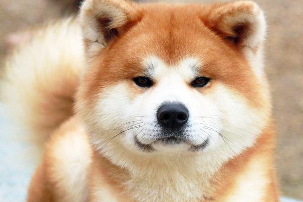 muso dolce del cane
