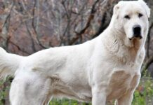 cane da pastore bianco