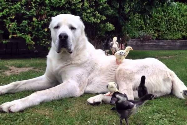 cane divertente che gioca con le paperelle
