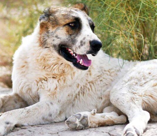 un cane da pastore dell'asia centrale