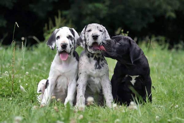 tre cuccioli di alano