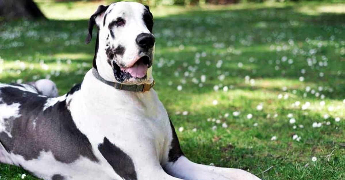 cane di taglia gigante sul prato