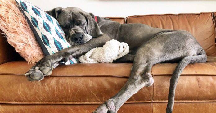 un alano che dorme sul divano