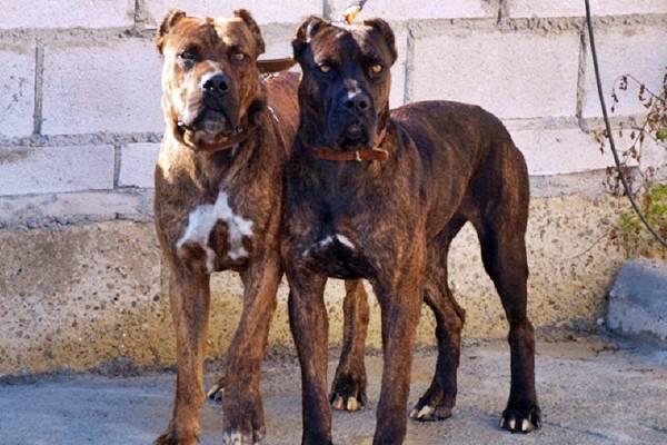 due cani da combattimento