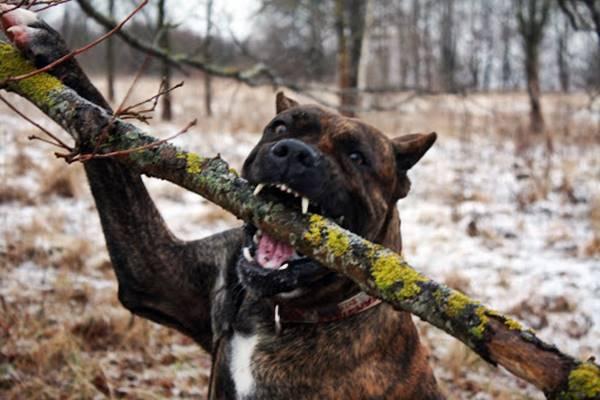cane aggressivo e pericoloso