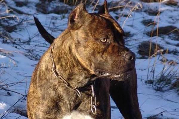 Alano spagnolo, storia di un cane che oggi non esiste più