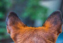 cane problemi orecchie