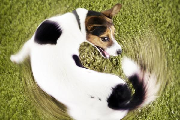 cane che corre girando intorno a se