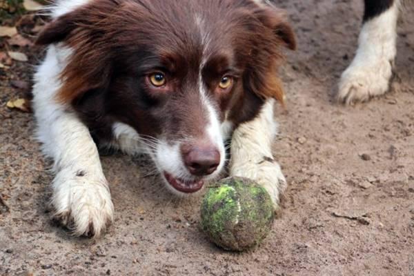 cane ossessivo con la pallina