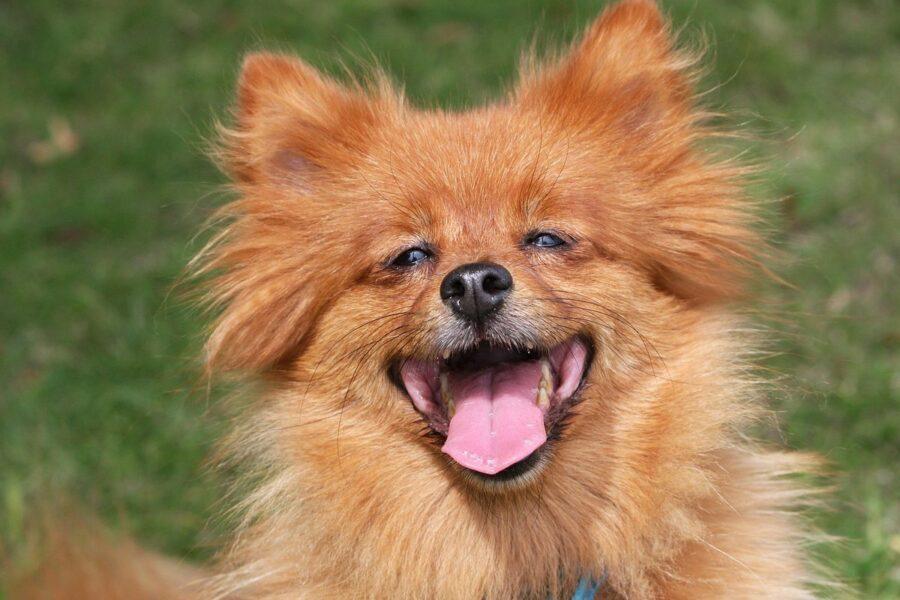 cane volpino felice