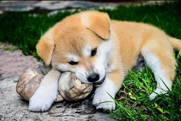 cucciolo gioca con un osso di gomma