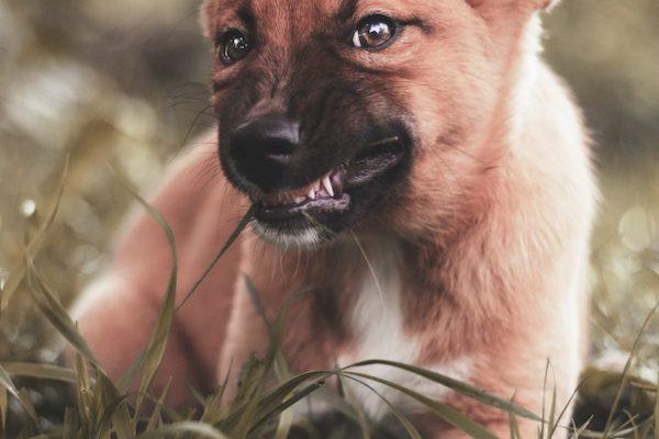 cucciolo di cane sempre arrabbiato