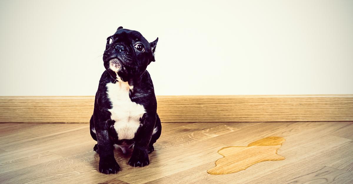 Cucciolo di cane dove fargli fare pipì