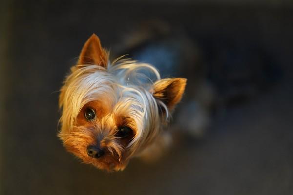 Yorkshire Terrier: carattere e temperamento di questo cane
