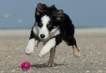 cane che rincorre pallina