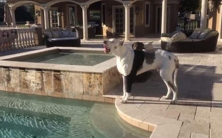 max cane alano si lamenta