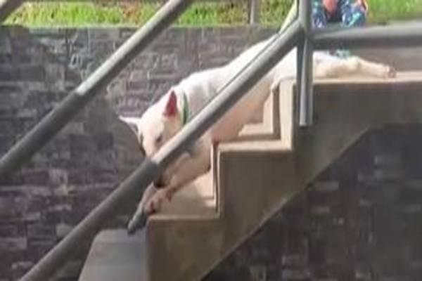 cane che scivola sulle scale