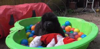 Cucciol di Terranova in una piscina di palline