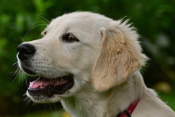 Cucciolo di Golden Retriever progetta un piano strategico per fuggire (video)