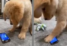 Cucciolo di Golden Retriever gioca con smartphone