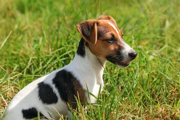 cane maestro della fuga