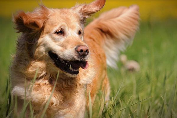 """Golden Retriever """"rapisce"""" un cagnolino e il video conquista il web"""